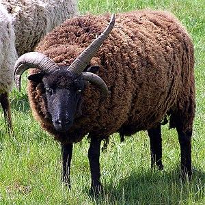 Hebridean sheep - Three-horned Hebridean sheep