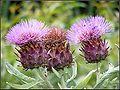 Thistle flowers.jpg