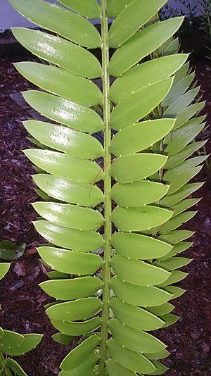 Encephalartos natalensis - Image: Thousand Hills Cycad (Encephalartos natalensis) 1