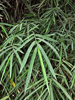 <i>Thyrsostachys siamensis</i> Bamboo species