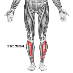 Tibialis heb.PNG