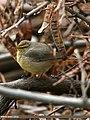 Tickell's Leaf Warbler (Phylloscopus affinis) (23271760872).jpg
