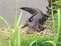 Tier Aligator Everglades Florida USA.jpg