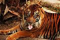 Tiger (4083777928).jpg