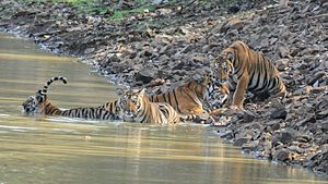 Tadoba Andhari Tiger Project - Tigress Maya with her Cubs