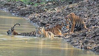 Tadoba Andhari Tiger Project - Tigress Maya with her Cubs