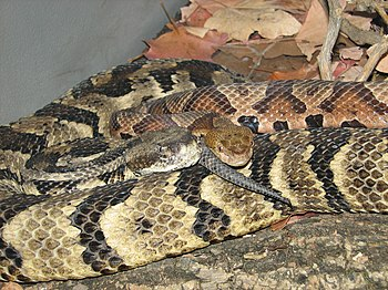 English: Timber Rattlesnake (Crotalus horridus...