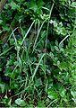 Timoteegras plant Phleum pratense subsp pratense.jpg