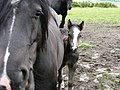 Tiny Foal - geograph.org.uk - 475901.jpg
