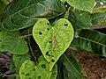 Tipulidae 6.jpg