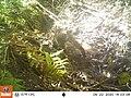 Tomales Point Water Sources- Wildlife Monitoring Camera- Bobcat - September 22, 2020, 2-03 pm (62432b4b-f81f-42ba-9a58-cfa7a30575e5).jpg