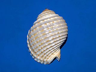<i>Tonna tessellata</i> Species of gastropod