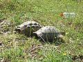 Tortoises in Krushevska Reka valley - P1100155.JPG