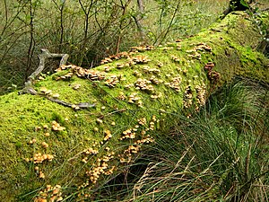 Coarse woody debris - Fungi sprouting from fallen log, Germany