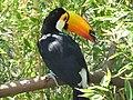 Toucan - Lagos Zoo - The Algarve, Portugal (1736142846).jpg