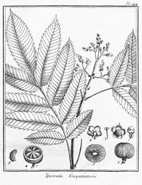 Touroulia guianensis
