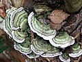 Trametes versicolor in the woods at Woodhall Spa - geograph.org.uk - 471511.jpg