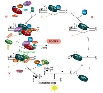 Nucleotide excision repair - Image: Transcription coupled repair