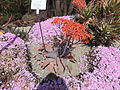 Trauttmansdorff gardens - Aloe vera 02.JPG