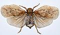 Tree Hopper (Flatolystra ypsilon) (8571599129).jpg
