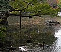 Tree leaning over Osensui (2096530493).jpg