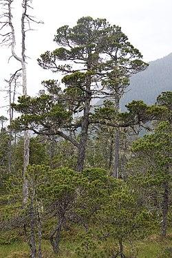 Tree on muskeg 351.jpg