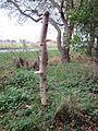 Tree with fungi, Martin Mere (3).JPG