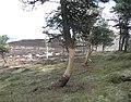 Trees damaged by deer - geograph.org.uk - 765683.jpg