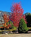Trees of Many Colors, Oak Glen, CA 11-8-14 (15155282213).jpg