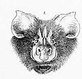 Triaenops persicus illustration.jpg