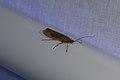 Trichoptera sp. (35661791703).jpg