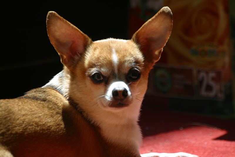 Brown and white Chihuahua dog