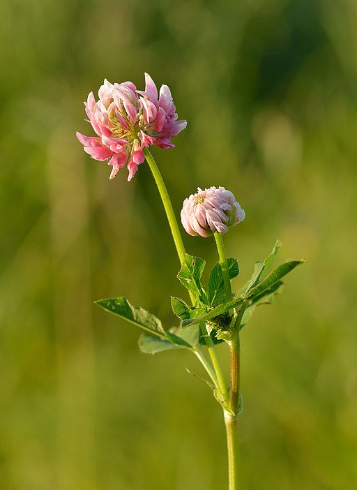 Trifolium hybridum - roosa (rootsi) ristik