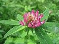Trifolium medium.jpg