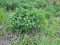 Trifolium pratense habit5 (10733529194).jpg