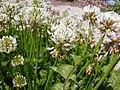 Trifolium repens (5155176910).jpg