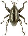 Trigonopterus pseudonasutus holotype - ZooKeys-280-001-g065.jpg