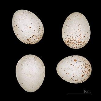 Eurasian wren - Troglodytes troglodytes