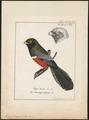 Trogon curucui - 1700-1880 - Print - Iconographia Zoologica - Special Collections University of Amsterdam - UBA01 IZ16700337.tif