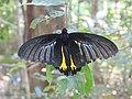 Troides minos - Sahyadri Birdwing - Aralam Butterfly Survey at Kottiyoor, 2019 (2).jpg