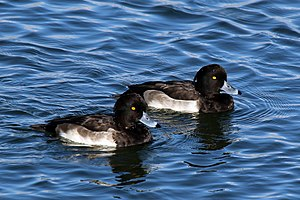 Tufted duck - Image: Tufted ducks (Aythya fuligula) male juveniles