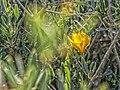 Tulipe australe Tulipa sylvestris.jpg