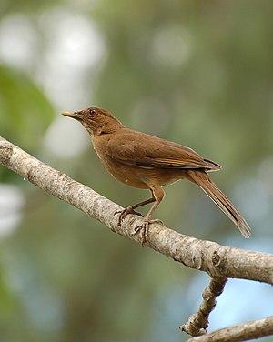 Clay-colored thrush - In Garita, Alajuela, Costa Rica