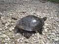 File:Turtle at Eagle Lake Refuge Shelby County TN.theora.ogv