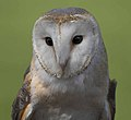 Tyto alba -Libertys Owl Raptor and Reptile Centre, Hampshire, England -head-8a.jpg