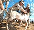 US Navy 060815-N-0411D-018 U.S. Army Veterinarian, Capt Gwynne Kinley of Cape Elizabeth, Maine, immunizes a goat with the help of U.S. Navy Operations Specialist 2nd Class Jessica Silva.jpg