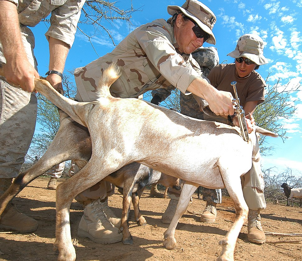 US Navy 060815-N-0411D-018 U.S. Army Veterinarian, Capt Gwynne Kinley of Cape Elizabeth, Maine, immunizes a goat with the help of U.S. Navy Operations Specialist 2nd Class Jessica Silva