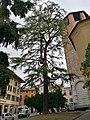 Udine - cedro di Cipro - 202109161020.jpg
