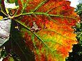 Underside Muscat leaf.jpg