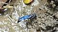 Unknown Wasp collecting mud from side of stream (41066632360).jpg